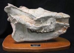 Where can I see dinosaurs: Rhino Skull