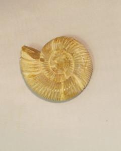 valentines day Perisphinctes Ammonite