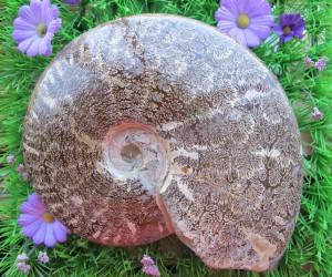 I need gift ideas ammonite on astroturf!