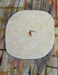 fossilised cockroach