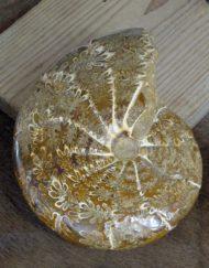 heterophyllum ammonite