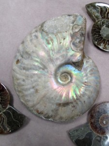 Pearly Cleoniceras Ammonite