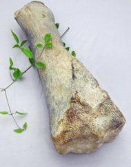 fossil mammoth leg bone