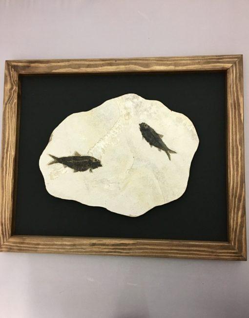 Framed Fossil Fish